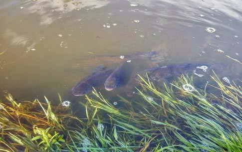 Лечение болезней промышленных рыб карпа, толстолоба, карася