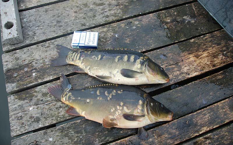Выращенная рыба (карп) на кормовой базе водоема